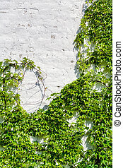 Grape Ivy - White Wall Covered With a Grape Ivy