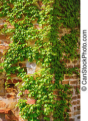 Brick Wall - Corner of a Brick Wall Covered by Ivy