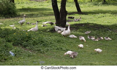 Domestic geese in the meadow - Geese with goslings wander...