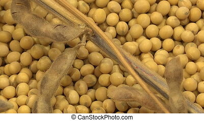 Soy Bean Plants and Beans As Agriculture Crop Harvest...