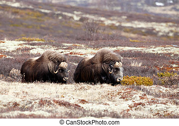 Musk oxes on Dovrjefell mountains