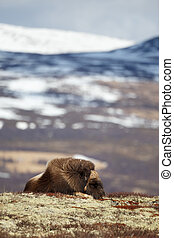 Sleeping musk ox on Dovrjefell mountains