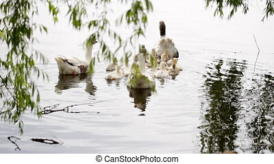Geese Family flotilla - Family of geese together begins his...