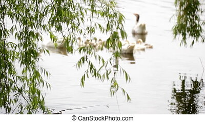 Goose family in pond