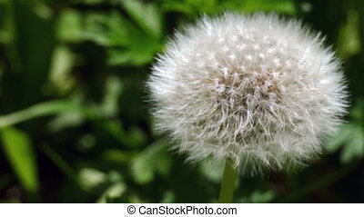 white feathers dandelion