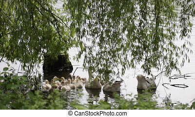 Goose with goslings go into the water from the shore of the...