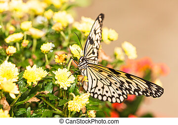 Idea leuconoe butterfly on the yellow chrysanthemum
