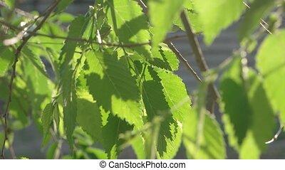 Fresh crisp green elm tree leaves backlit