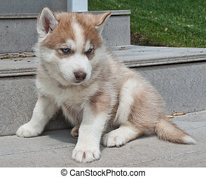 Husky Puppy - Very cute red Husky puppy with blue eyes...