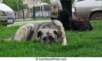 Sad old feral dog resting on grass with black companion,...