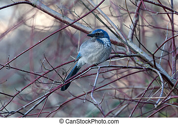 Western Scrub Jay Perched on Tree Branch in Winter