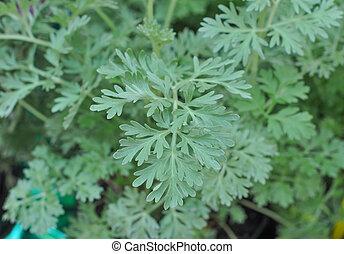 planta,  artemisia, gris,  absinthium