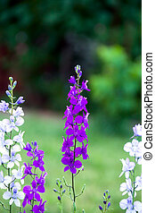 Delphinium - violet, white and blue Delphinium in the garden