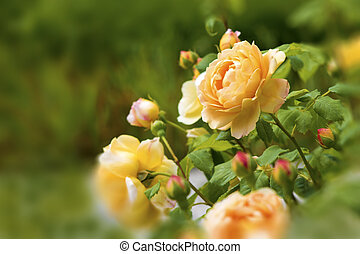 yellow rose - beautiful yellow rose on a green background