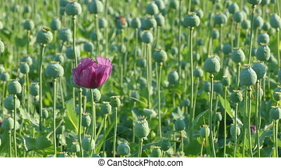 Poppy flower and green cocoons in field in spring