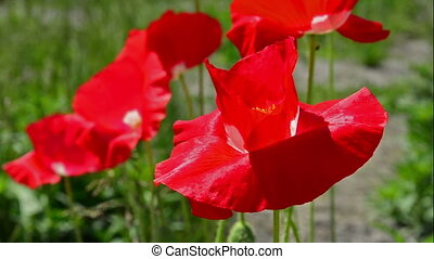 Flowers red poppies.