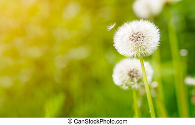 Dandelion on fresh green background with sunflare