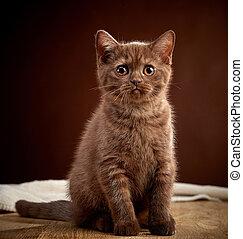 portrait of brown british shorthair
