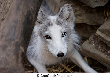 Arctic fox - A small arctic fox in a zoo