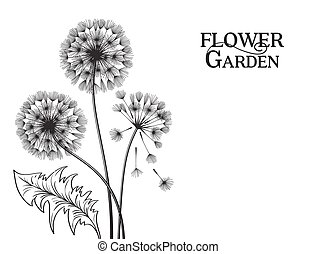 Blowball flower - Blowball silhouette at black and white...