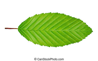 hornbeam leaf isolated on white background