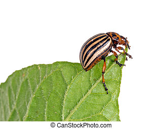 Colorado potato beetle, Leptinotarsa decemlineata, eating...