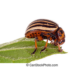 Colorado potato beetle much magnified. Studio isolated on...
