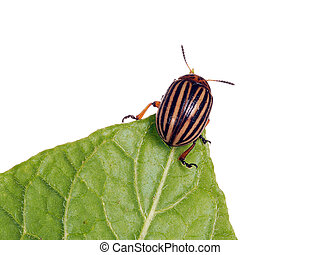 Colorado potato beetle, feeding, studio isolated on white. -...