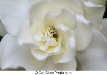 suave, Gardenia,