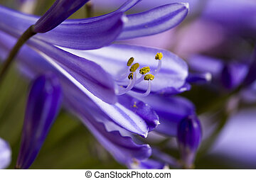 Agapanthus Flower - Purple Agapanthus flowers blooming in a...