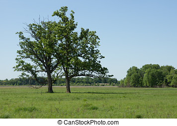 Bur Oaks - Two Bur Oak trees thrive in a sedge meadow...