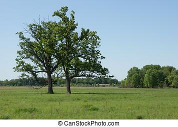Bur Oaks - Two Bur Oak trees thrive in a sedge meadow...