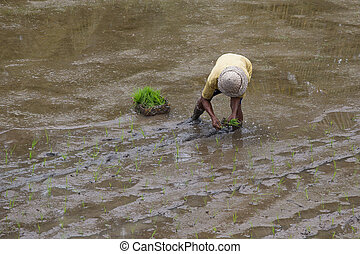 Farmer working hard on rice field in Bali. Indonesia