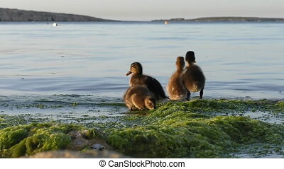 Duck and ducklings on the seaside - Four little ducklings...
