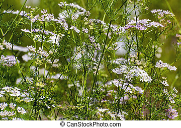 Coriander Coriandrum sativum - Flowers of coriander or...