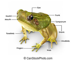 Rana frog - Rana species feed mainly on insects and...