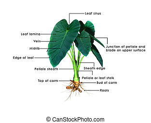 Colocasia are herbaceous perennial plants with a large corm...