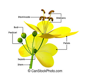 Cassia is a genus of flowering plants in the legume family,...