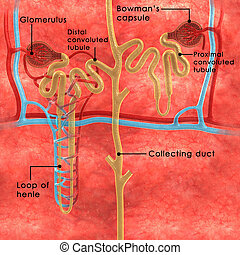 Nephrons - Nephron is the basic structural and functional...