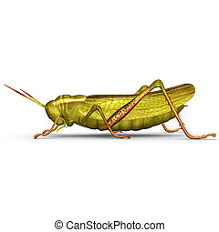 Grasshopper - The grasshopper is an insect of the suborder...