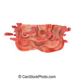 Golgi apparatus - The Golgi apparatus also known as the...
