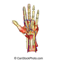 Hand Muscles - The hand is an intricately complex structure...