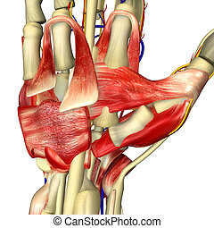 Hand Anatomy - The hand is an intricately complex structure...