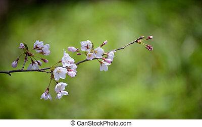 Spring Cherry blossoms soft focus