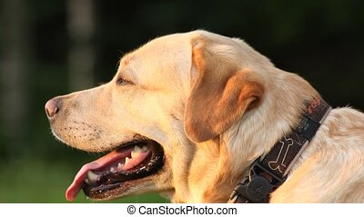 Close up portrait of a labrador in park