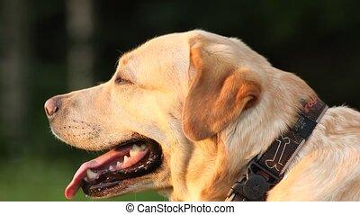 Close up portrait of a labrador