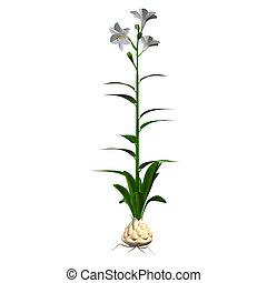 Lilium candidum is a plant in the genus Lilium, one of the...