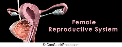 Female reproductive system - The female reproductive system...