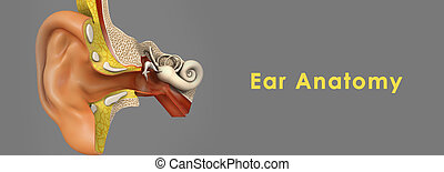 Ear Anatomy - Human ear, organ of hearing and equilibrium...