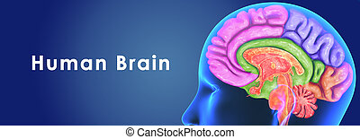 Human Brain - The human brain has the same general structure...
